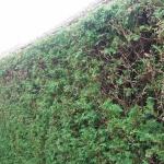 Horné Štitáre - strihanie živého plota